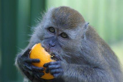 Monkey with orange