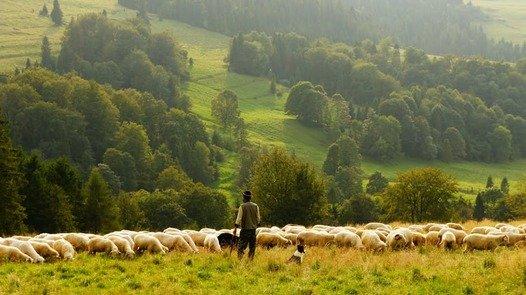 Shepherd in the field